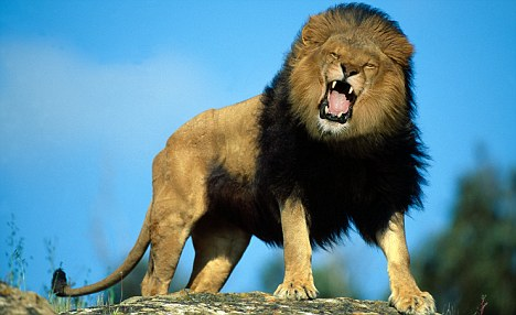 African Lion Roaring Animal Model