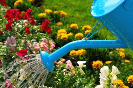 Water pouring from blue watering can onto blooming flower bed